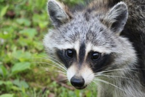 raccoon_tammy grimes_cc