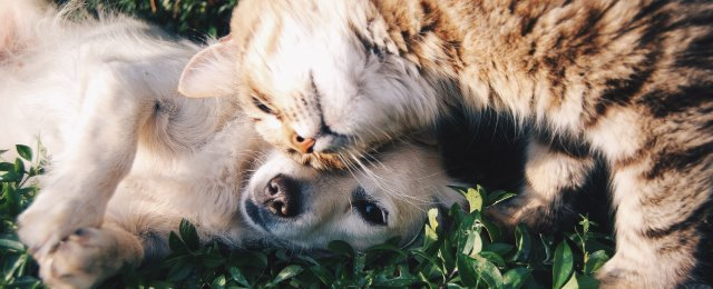 omistajan kokema hallinnan tunne määrää lemmikin aseman; kuvassa kissa ja koira