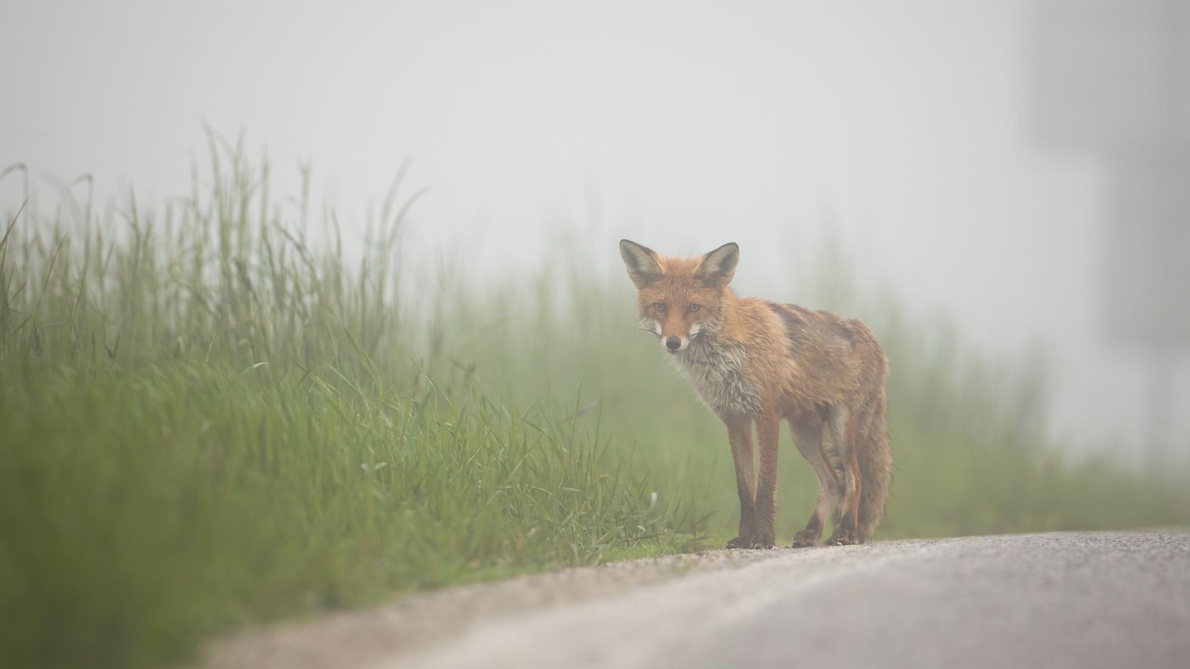 luonnonvaraiset eläimet tarvitsevat toisinaan apua; kuvassa kettu