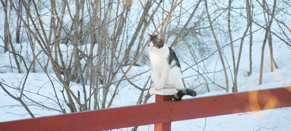 Omavalvonta maatilan kissan turvaksi? Kissa ulkona talvella