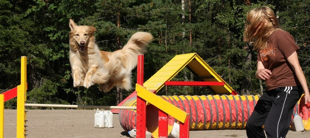 koiran koulutus; agility
