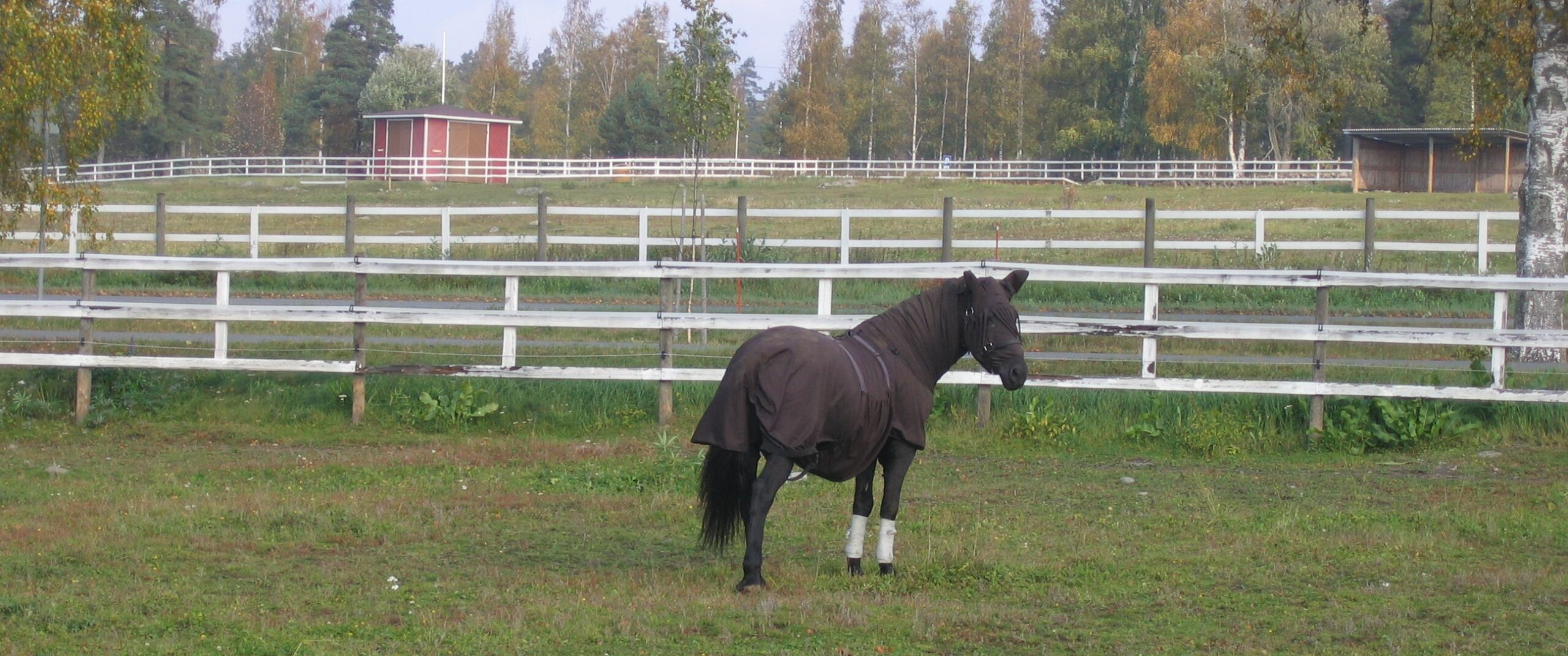 kesäihottuma voi olla hevoselle piinallinen sairaus. kuvassa hevonen